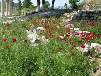 Poppies at Efes